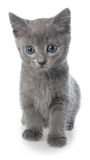 Small gray shorthair kitten sitting isolated Royalty Free Stock Photography