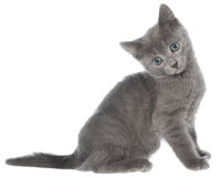Small gray shorthair kitten sitting Royalty Free Stock Photo