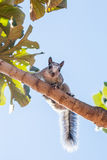 A small gray squirrel Royalty Free Stock Photography