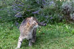 Small gray striped European Shorthair hunting royalty free stock photo