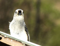 Titmouse Bird Looking in Window Royalty Free Stock Images