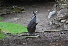 Small gray Wallaby Royalty Free Stock Photos