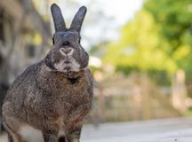 Small gray and white bunny rabbit on a sunny spring morning. Small gray and white bunny rabbit with adorable mouth and chin poses on the deck on a sunny spring stock image