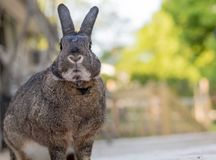 Small gray and white bunny rabbit on a sunny spring morning. Small gray and white bunny rabbit with adorable mouth and chin poses on the deck on a sunny spring stock photos