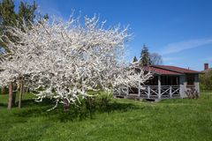 Small gray wooden house with a blooming cherry tree and green grass. royalty free stock photo