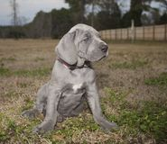Small Great Dane. Gray Great Dane that is a puppy on a grassy field Stock Photography