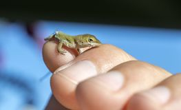Tiny baby Green Anole Lizard, Georgia USA. Small Green Anole chameleon lizard in hand to show tiny size. The Carolina anole Anolis carolinensis is an arboreal stock images