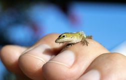 Tiny baby Green Anole Lizard, Georgia USA. Small Green Anole chameleon lizard in hand to show tiny size. The Carolina anole Anolis carolinensis is an arboreal royalty free stock photography
