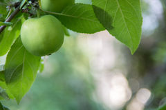 Small green apple on background of blured foliage Stock Photo