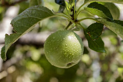 Small green apple on the tree after rain Royalty Free Stock Photography