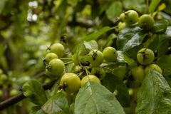 Small green apples on a tree stock photos