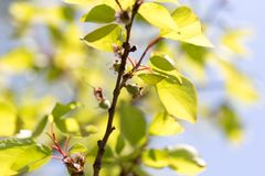 Small green apricots on the tree branches Stock Photography