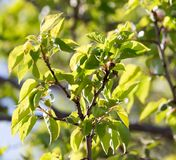 Small green apricots on the tree branches Stock Photo
