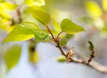 Small green apricots on the tree branches Stock Image
