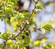 Small green apricots on the tree branches Royalty Free Stock Photo