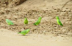 Small green baby parrots on the ground Stock Images