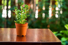 Small green banana succulent plant in brown pot. royalty free stock image