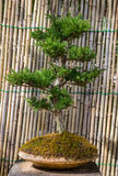 The small green bonsai tree Royalty Free Stock Images