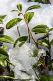 Small green bush sprouting out through the snow in spring. Royalty Free Stock Photography