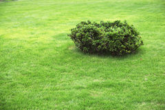 Small green bush. Surrounded by grass Royalty Free Stock Images