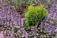 Small green bush among violet flowers Royalty Free Stock Photos