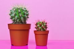 Small green cacti on bright pink background Stock Image