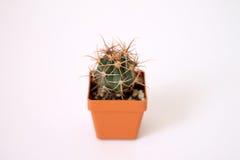 Small green cactus. Green Cactus planted in a pot Royalty Free Stock Photos