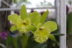 Small green cattleya orchids Royalty Free Stock Images