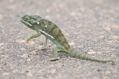 Small green chameleon cross tar road on a hot day Stock Images
