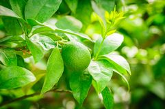 Small green citrus fruit on tree with green leaves in sunshine.  Stock Photos