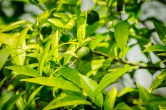 Small green citrus lime fruit on tree with green leaves in sunshine.  royalty free stock images