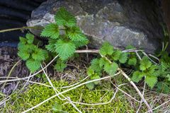 Small green common nettles growing in spring stock photography