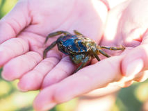 Small green crab in hands Stock Photos