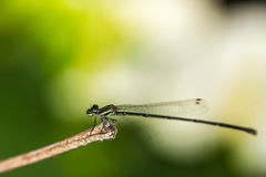 Small green damselfly Ceriagrion tenellum Stock Image
