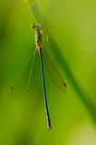 Small green dragonfly on a stalk of grass Stock Photo
