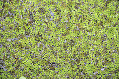 Small Green Duckweeds Royalty Free Stock Image