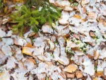 Small green fir Stock Photos