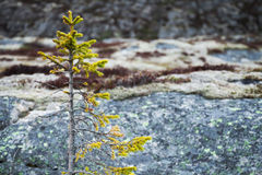Small green fir tree growing on stones Royalty Free Stock Photography