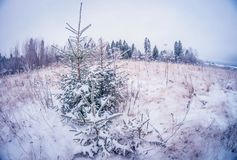 Small green firs covered with snow and frost on a cold sunny day. fish eye distortion. Small young green firs covered with snow and frost on a cold sunny day stock images