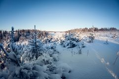 Small green firs covered with snow and frost on a cold sunny day. fish eye distortion. Small young green firs covered with snow and frost on a cold sunny day royalty free stock photos