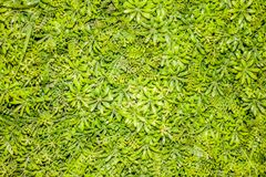 Small green flower leaves background. In afternoon Stock Photo