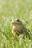 Small green frog. A small green frog on finger Stock Photos
