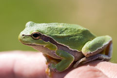 Small green frog. A small green frog on finger Royalty Free Stock Images