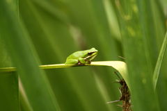Small Green Frog Royalty Free Stock Photography
