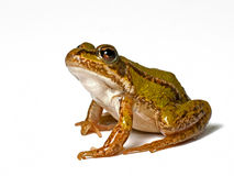 Small green frog. Elophylax kl. esculentus, on a white background, looking up Royalty Free Stock Images