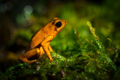 Small green frog Royalty Free Stock Photos