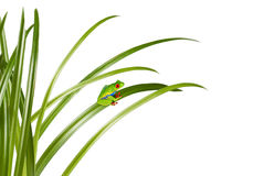 Small green frog on a grass leaf Royalty Free Stock Photography