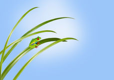 Small green frog on a grass leaf Stock Photography