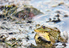 Small green frog. Picture of green frog, focus on eye, shallow depth of field Stock Image