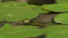 Small green frog in a pond stock video